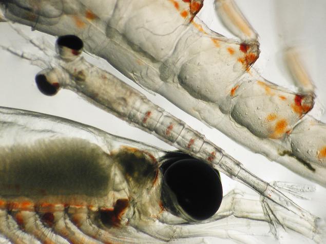 Larval fish.