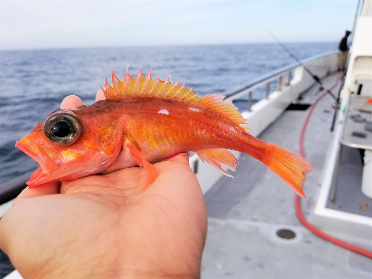 ​​Small orange/red fish with white spots sitting in the palm of a hand