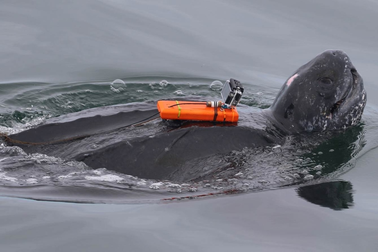 tagged leatherback sea turtle