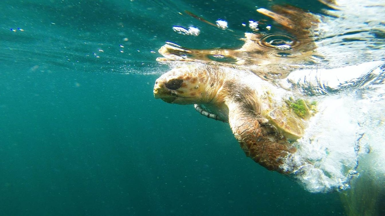 Release loggerhead with tag attached.