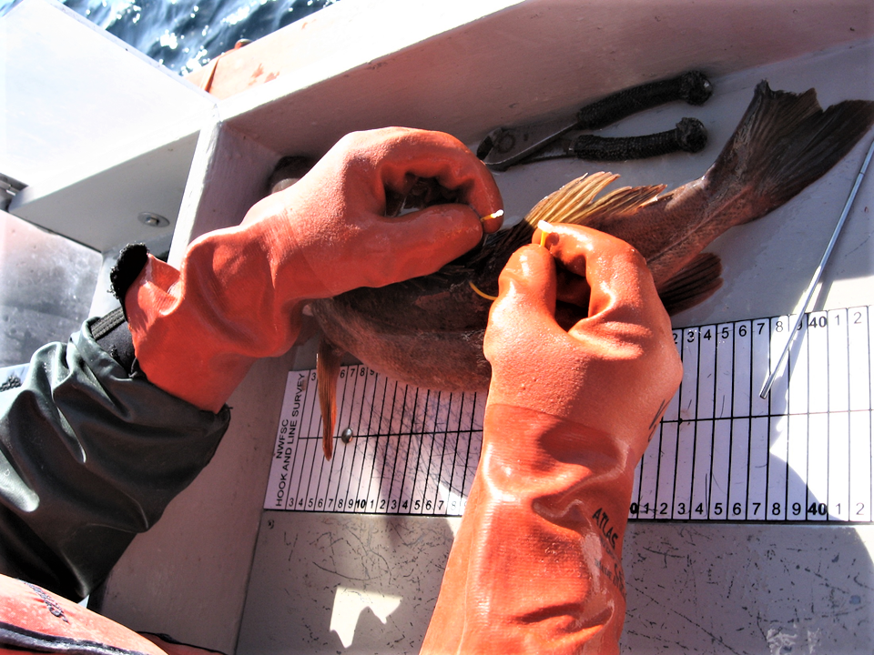 Gloved hands are attaching a loop tag onto a brown fish