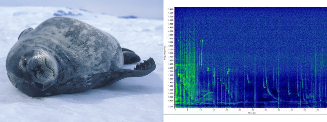 weddell seal photo and sound chart