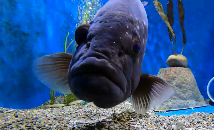 close-up of grouper in aquarium tank