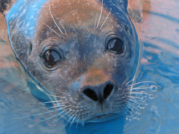 close up of harbor seal face