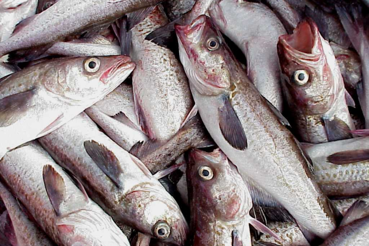 Photo of Alaska pollock catch.