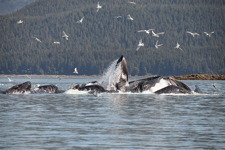 Humpback whales bubble net feeding in Southeast Alaska.