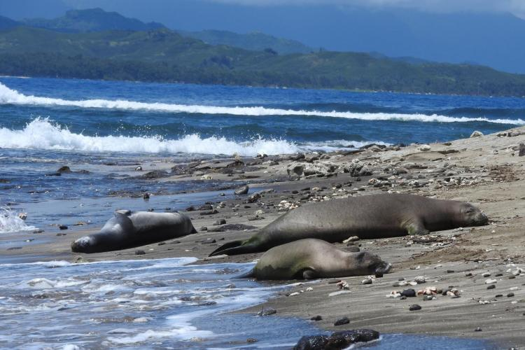 Three monk seals rest on a beach near each other
