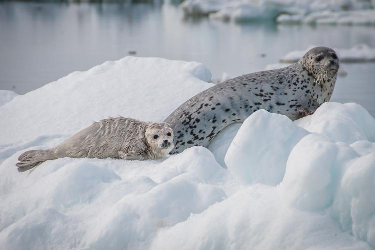 Photo of a spotted seal mother and pup sitting on an ice floe.