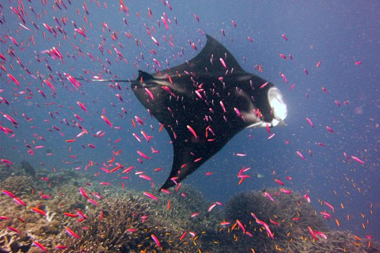 Manta ray swimming around coral reef and small red-pink fishes.