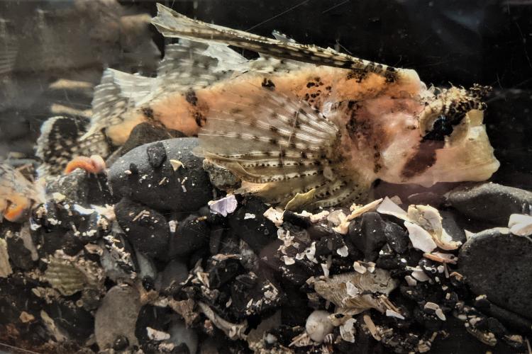 Photo of a sailfin sculpin in the Kodiak lab aquarium.