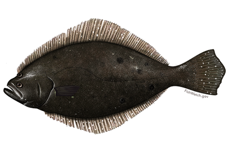 Illustration of summer flounder.