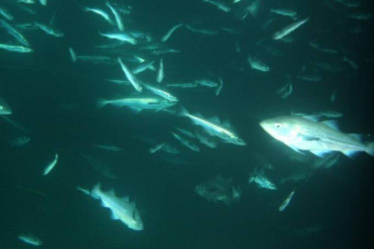 Underwater photo of Alaska pollock.