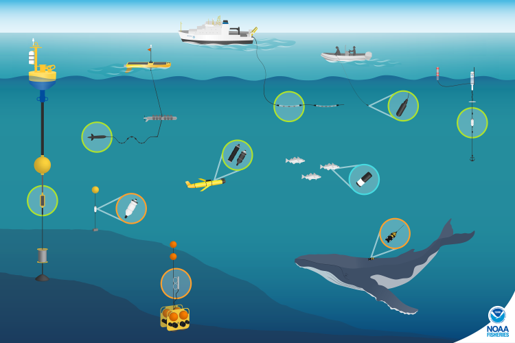 This illustration shows the variety of technologies that NOAA Fisheries researchers use to record underwater sounds and study marine animals. The seascape shows bottom- mounted and drifting acoustic recorders, underwater autonomous vehicles, Atlantic cod and humpback whale with tags, and instruments deployed from a NOAA ship and small boat. Colored circles show a zoomed-in view of the instruments and indicate the type of data collected: green for real-time data, orange for archival data, and blue for active