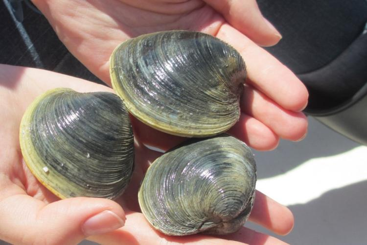 Three large clams are held by a scientist. Their shells are ridged and grayish green in color.