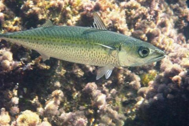 Atlantic chub mackerel close-up photo. Credit: Alessandro Duci