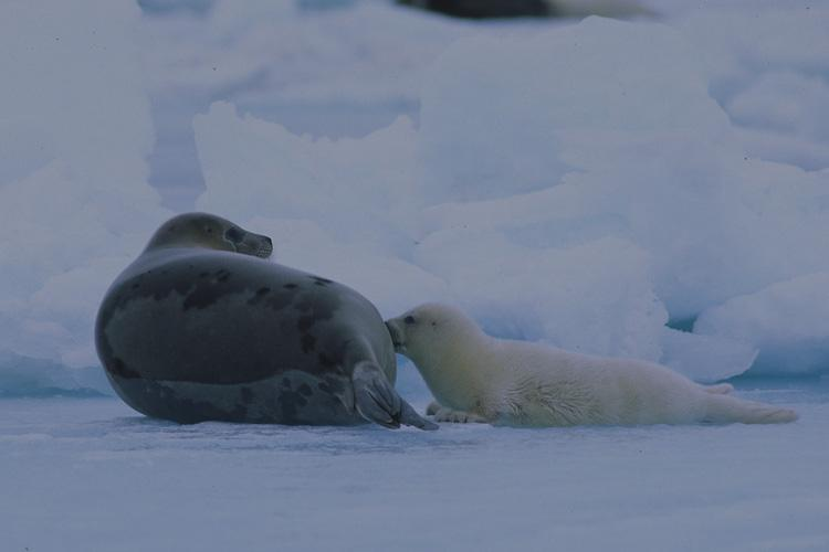 In the foreground an adult harp seal and pup on ice. Big chunks of ice can be seen in the background.