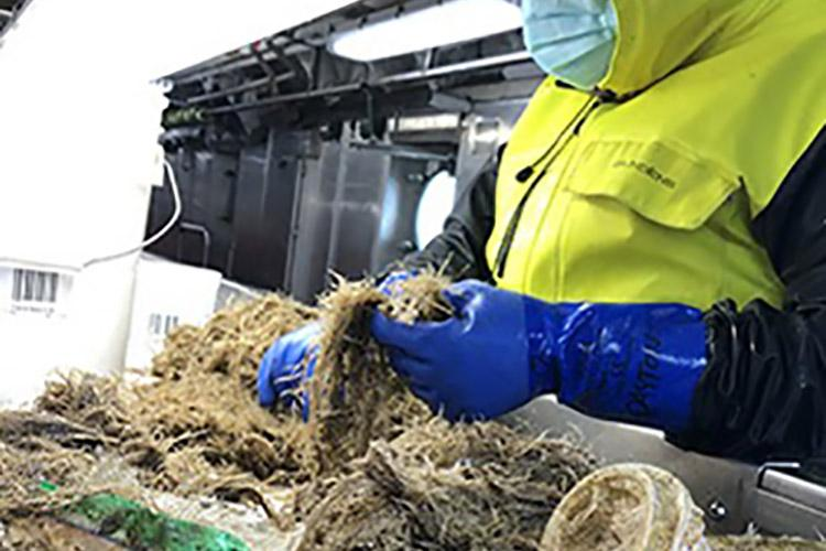 Researcher Josh Dayton sorts hydrozoans looking for small fish. Some plastic trash is visible.