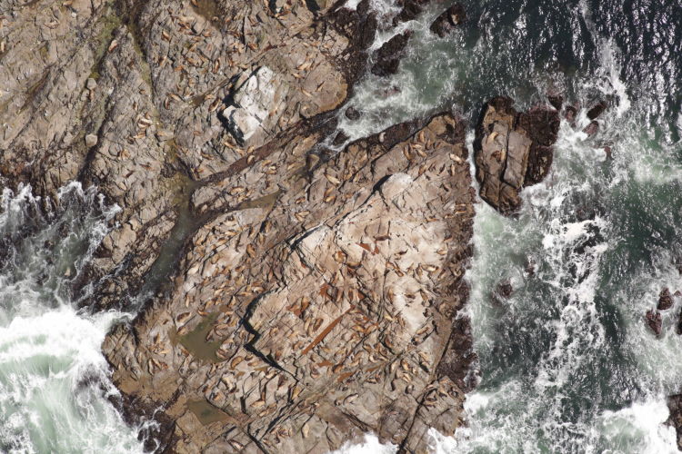 Aerial photo of Steller sea lions on rocks surrounded by foaming sea waves.