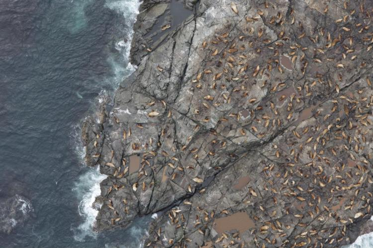 Aerial photo of Steller sea lions on a rocky island bordered by blue-gray water and surf.