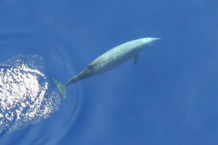 A Cuvier's beaked whale (Ziphius cavirostris) cruises just under the surface after having taken a breath.