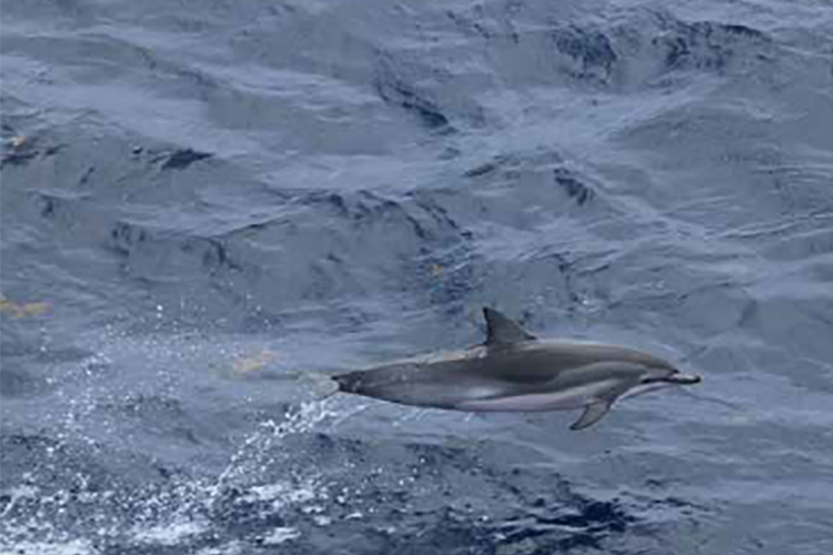 A small gray-colored dolphin with a lighter-colored belly in mid-leap pit of the water.