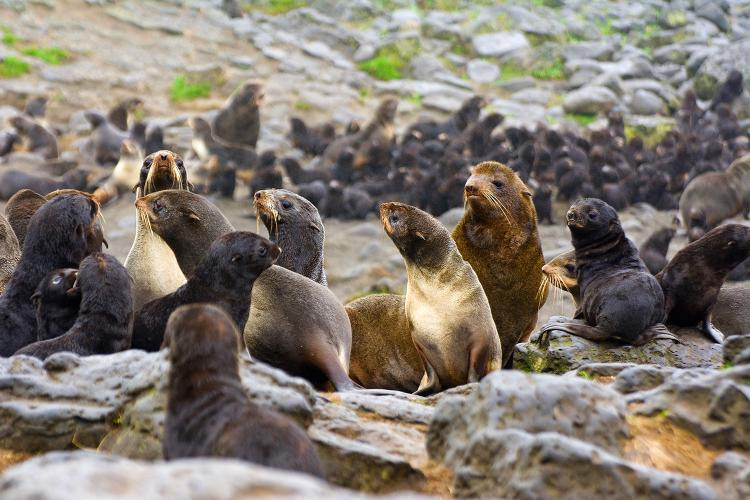Photo of northern fur seals in a rookery strewn with large rocks.