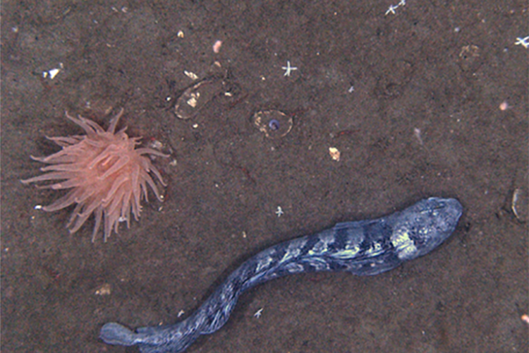 Color image taken with the camera lens pointed at the neutral colored, sandy ocean bottom. At left, a light-colored translucent, many tentacled anemone, and at right, a long eel-like silvery fish with dark stripes running vertically down its side. A few shells and very small sea stars are also lying on the bottom.