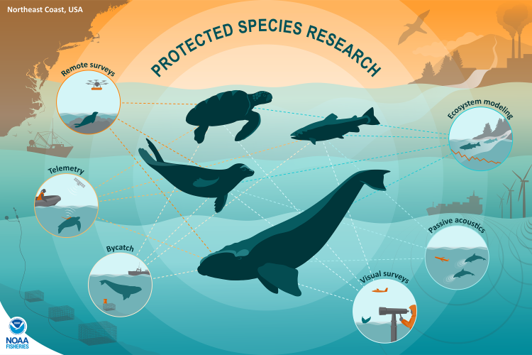 Infographic weaving bycatch, visual surveys, passive acoustics, telemetry, remote surveys and ecosystem modeling into protected species research.