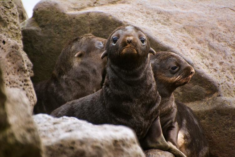 Photo of fur seal pups looking out from in-between large rocks.