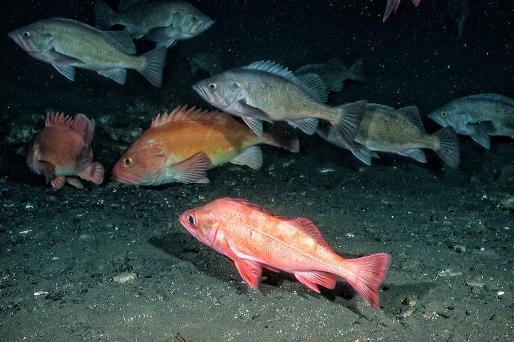 Underwater photo of several groundfish species near the seafloor.