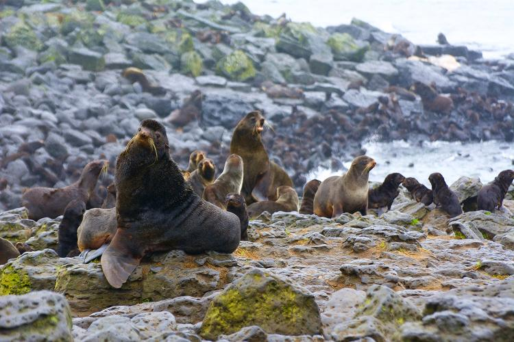 Photo of male and female adult fur seals and pups on rocks next to the water.