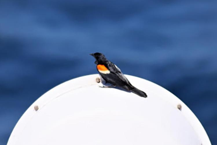 In the foreground, there's a dark bird with bright patches of color its shoulders perched on a light colored vent funnel. It is a sunny day and the ocean is in the background.