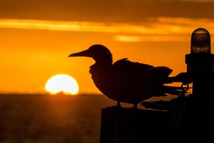 1024x683-PIFSC-hawaiian_sunset_booby_acu_med.jpg