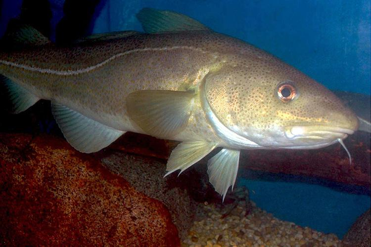 Atlantic cod, golden color, near rocky bottom.