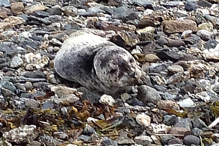1475x983-Douglas_Harbor_Seal_Pup_Rescue-NOAA-AKRO.jpg
