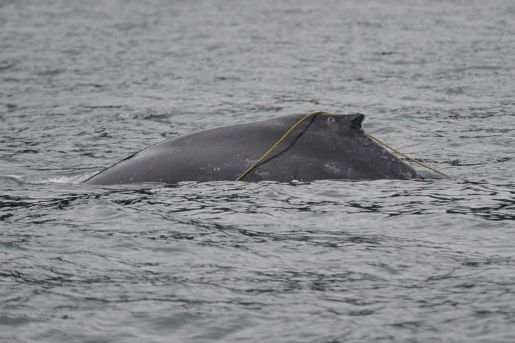 1500x1000-entangled-humpback-NOAA-AKRO.jpg