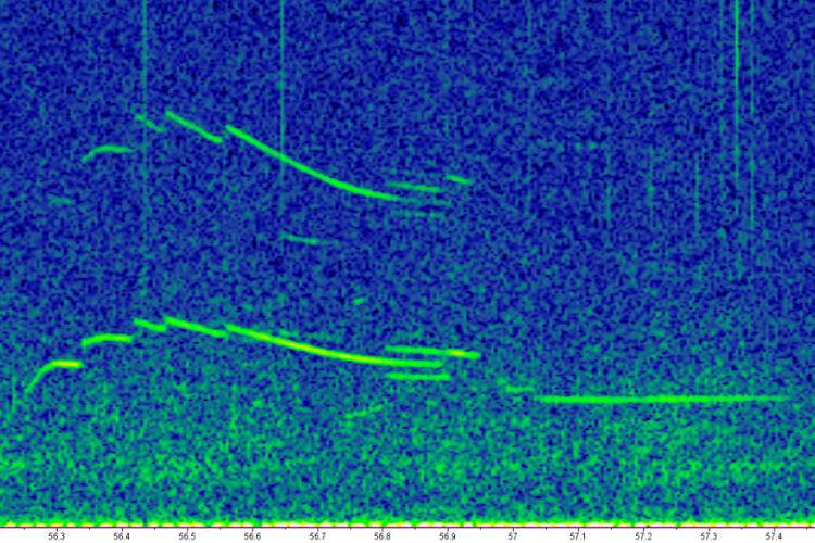 1675x765-06_Steno_Whistle-NOAA-PIFSC.png