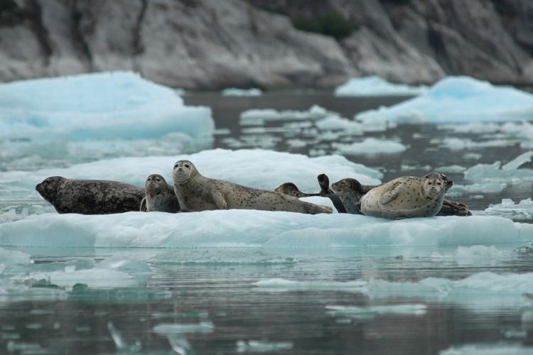 1800x1200-Harbor_Seals_Ice-NOAA-AKRO.jpg