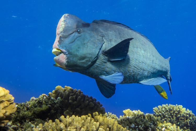 2133x1200-Bumphead-Parrotfish-AndrewEGray.jpg