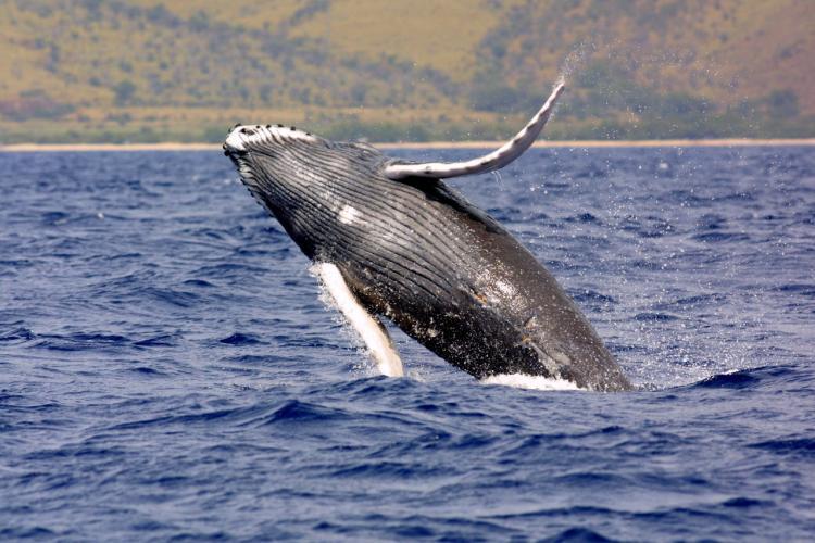 Humpback whale breaching. Credit: NOAA Fisheries.