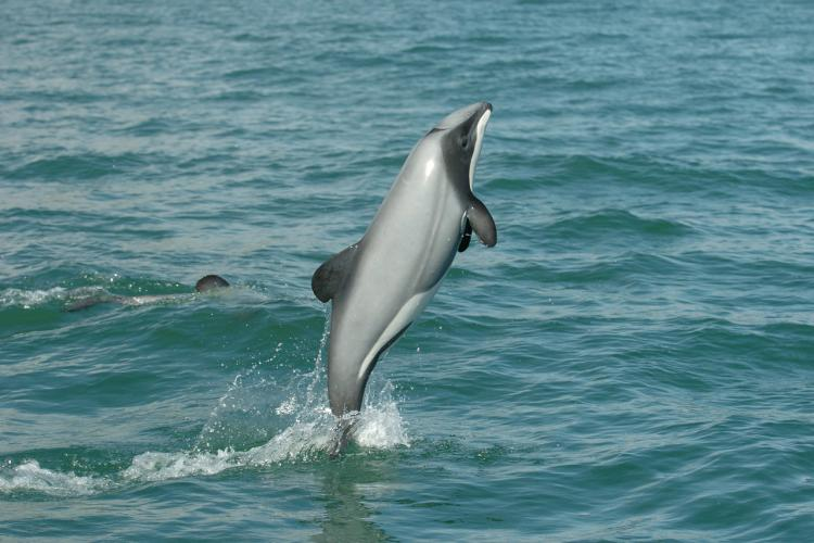 Side view of a hector's dolphin jumping out of blue green water in the Banks Peninsula. ©Steve Dawson, NZ Whale and Dolphin Trust.