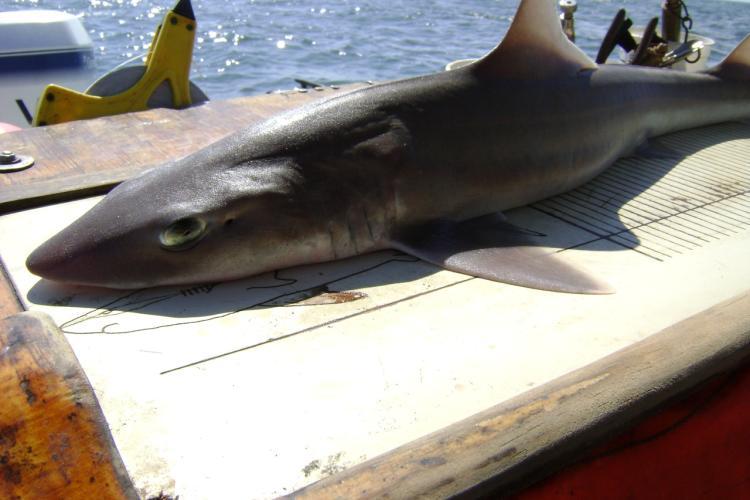 3072x2304-smoothhound-shark-hms-sf.jpg
