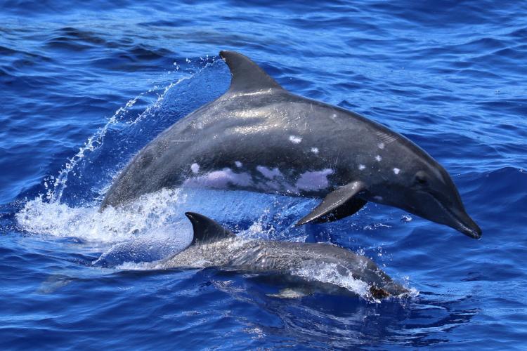 3218x2145-01_DolphinDinosaur-NOAA-PIFSC.jpg