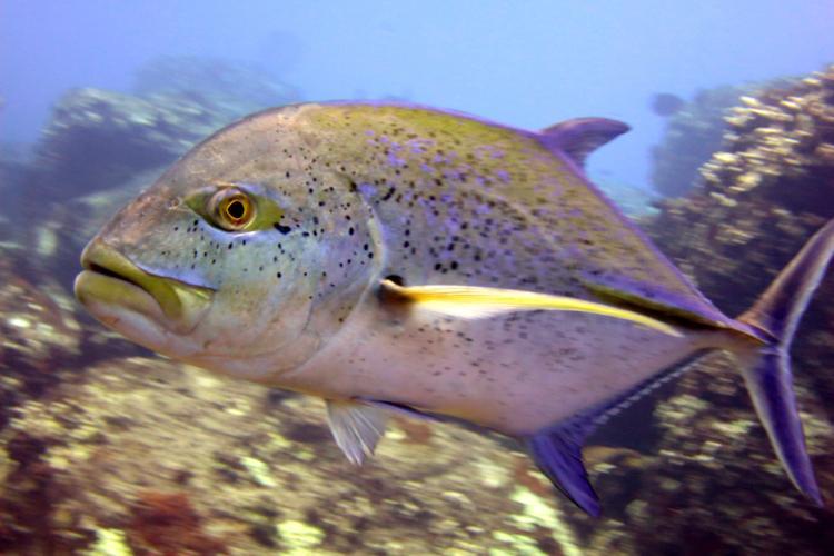 4000x3000-MNHI-KAH-Bluefin-trevally-Caranx-melampygus-side.JeanetteClark.jpg