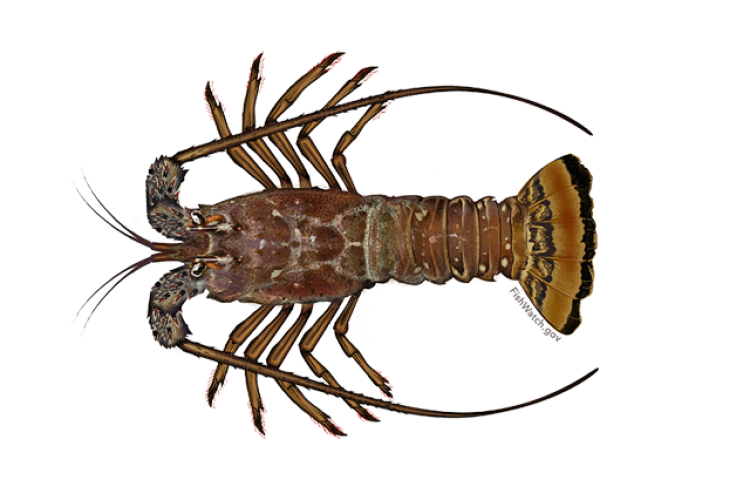 640x427-carribean-spiny-lobster.png