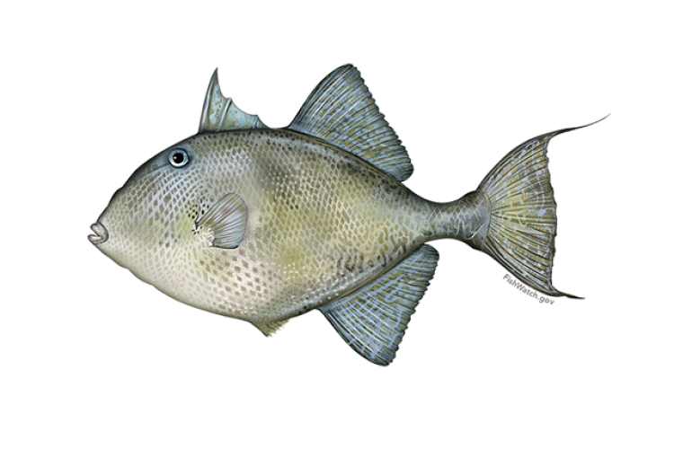 640x427-gray-triggerfish.png