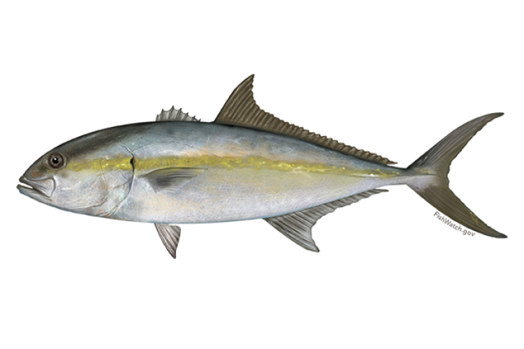 640x427-greater-amberjack.png