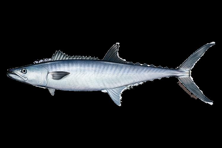 640x427-king-mackerel.png