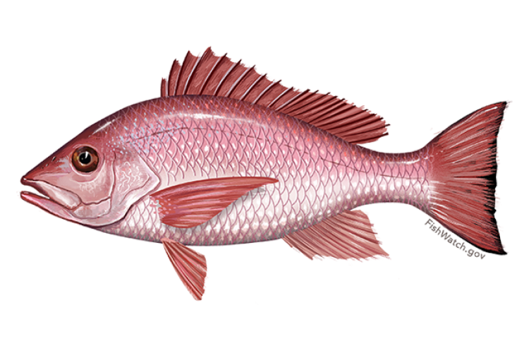 640x427-red-snapper.png