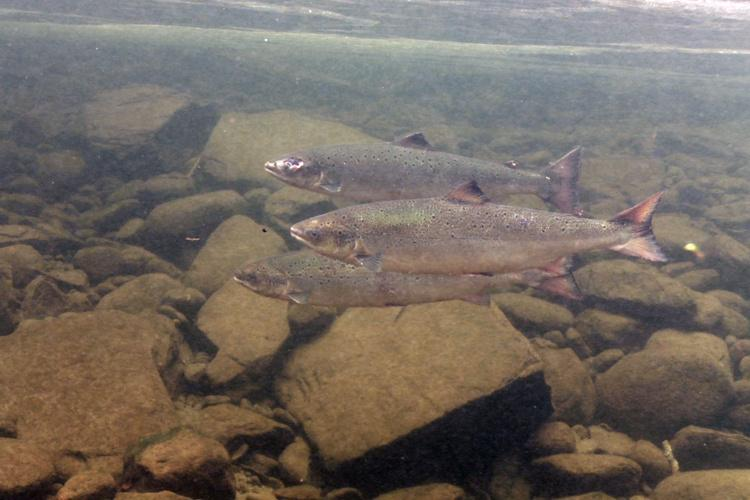 Atlantic salmon swimming close rocks